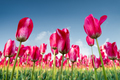red tulips blooming in beautiful spring  - PhotoDune Item for Sale
