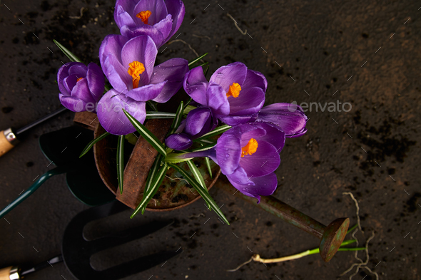 Gardening tools, young seedlings, crocus flower. spring - Stock Photo - Images