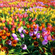 Tulip Field Pack - VideoHive Item for Sale
