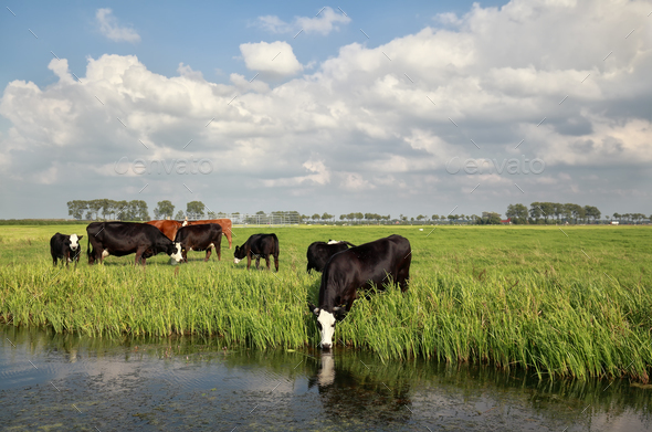 cows on pasture by river - Stock Photo - Images
