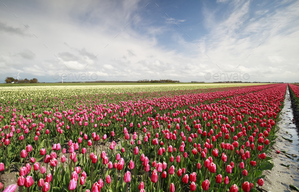 red tulip field and blue sky - Stock Photo - Images
