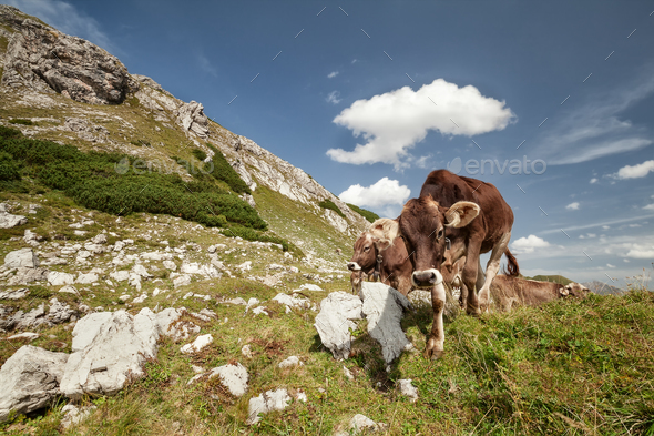 brown alpine milk cows in mountains - Stock Photo - Images
