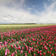 red tulip field and blue sky - PhotoDune Item for Sale