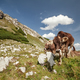 brown alpine milk cows in mountains - PhotoDune Item for Sale