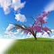 Cherry Blossoming Timelapse - VideoHive Item for Sale