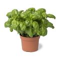 Brown plastic pot with fresh basil - PhotoDune Item for Sale
