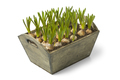 Wooden box with muscari bulbs - PhotoDune Item for Sale