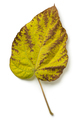 Autumn leaf of a  largeleaf linden tree - PhotoDune Item for Sale