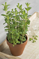 Terracotta  pot with Mentha spicata, Moroccan mentha - PhotoDune Item for Sale
