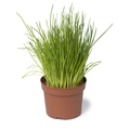 Brown plastic pot with fresh chives - PhotoDune Item for Sale