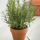 Brown terracotta pot with fresh italian rosemary - PhotoDune Item for Sale