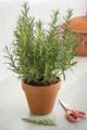 Brown terracotta pot with fresh italian rosemary - PhotoDune Item for Sale