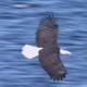 Bald Eagle Flight Close Up - VideoHive Item for Sale