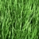 Growing Rice Field Sways Under the Gusts of the Wind, Greens Under the Sun, Grass Field, Summer - VideoHive Item for Sale