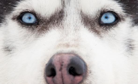 Siberian husky portrait. Close-up - Stock Photo - Images