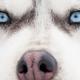 Siberian husky portrait. Close-up - PhotoDune Item for Sale