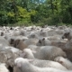 Sea of Sheep Pouring Past the Camera. Many Sheep and Rams Go on the Road - VideoHive Item for Sale
