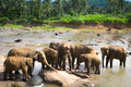 Big Asian elephants. Wild nature of Sri Lanka - PhotoDune Item for Sale