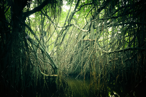 Mysterious landscape of mangrove rain forest. Sri Lanka - Stock Photo - Images