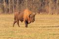 european bison - PhotoDune Item for Sale