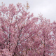 Cherry Blossom Bloom In Spring Time - VideoHive Item for Sale