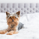 Yorkshire terrier - PhotoDune Item for Sale