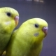 Two Yellow Wavy Parrots Look at You - VideoHive Item for Sale