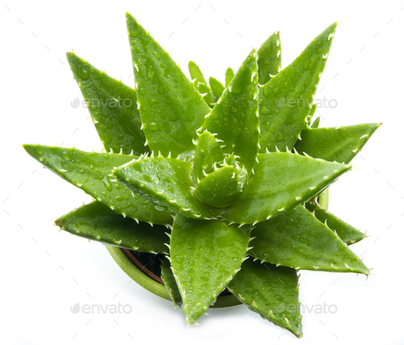 Aloe vera - Stock Photo - Images
