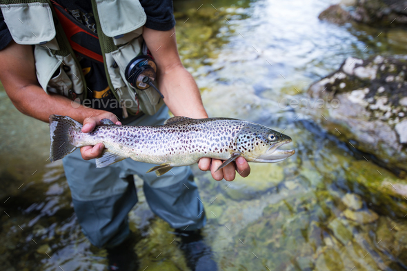 Fly fisherman with brown trout - Stock Photo - Images