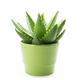 Aloe vera - PhotoDune Item for Sale