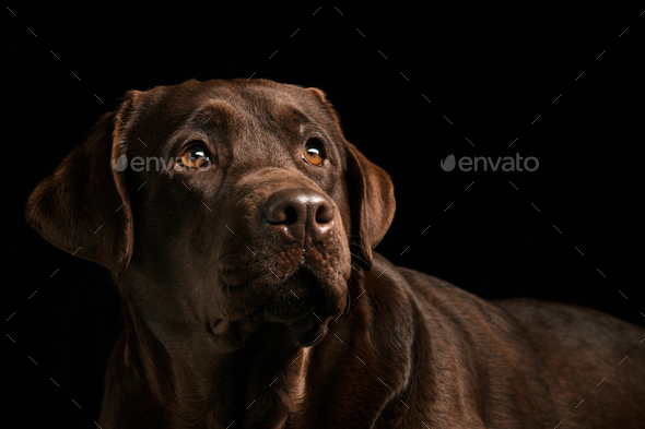 The portrait of a black Labrador dog taken against a dark backdrop. - Stock Photo - Images
