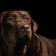 The portrait of a black Labrador dog taken against a dark backdrop. - PhotoDune Item for Sale