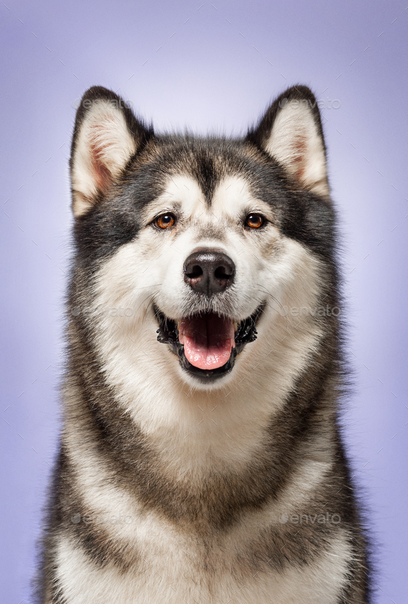 Alaskan Malamute, 2 years old, sitting in front of lilac background - Stock Photo - Images