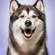 Alaskan Malamute, 2 years old, sitting in front of lilac background - PhotoDune Item for Sale