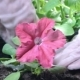 of Female Hands in the Economic Gloves Planting Petunia Seedling in Garden Boxes - VideoHive Item for Sale