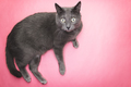 Grey Cat On The Pink Background  - PhotoDune Item for Sale