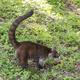 Coatimundi At Tikal Guatemala - PhotoDune Item for Sale