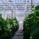 Greenhouse Complex, Cultivation of Cucumbers - VideoHive Item for Sale