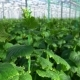 Greenhouse Complex Cultivation of Cucumbers - VideoHive Item for Sale