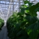 Greenhouse Complex - Cultivation of Cucumbers - VideoHive Item for Sale