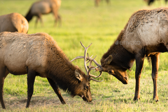 Two Male Bull Elk Sparring Testing Big Game Animal Wildlife - Stock Photo - Images