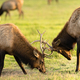 Two Male Bull Elk Sparring Testing Big Game Animal Wildlife - PhotoDune Item for Sale