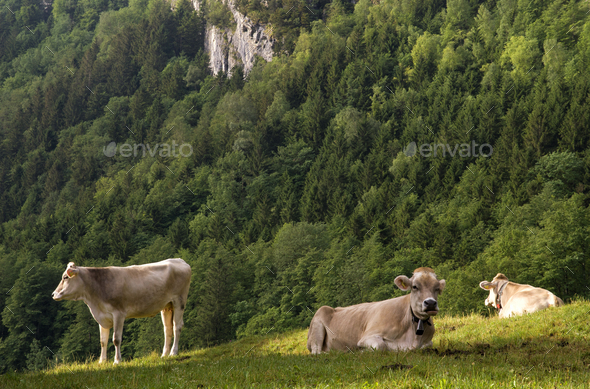 Cows in a alpine meadow - Stock Photo - Images