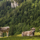 Cows in a alpine meadow - PhotoDune Item for Sale
