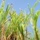 Sugarcane Field, India, Southeast, Asia. - VideoHive Item for Sale