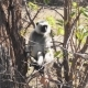 Gray Langur Also Known As Hanuman Langur in India - VideoHive Item for Sale