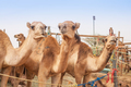 The Camel Market in Al Ain - PhotoDune Item for Sale