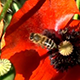 Three Red Poppies and Bees - VideoHive Item for Sale