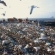 Garbage Dump. Hungry Gulls Are Looking for Food Among the Waste - VideoHive Item for Sale