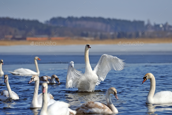 Group of white swans swimming in water - Stock Photo - Images